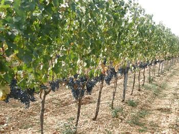 Vineyards dalmatia